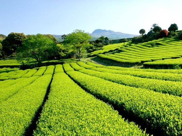 Trà xanh là thành phần xuất hiện nhiều nhất trong hầu hết các sản phẩm của Innisfree.